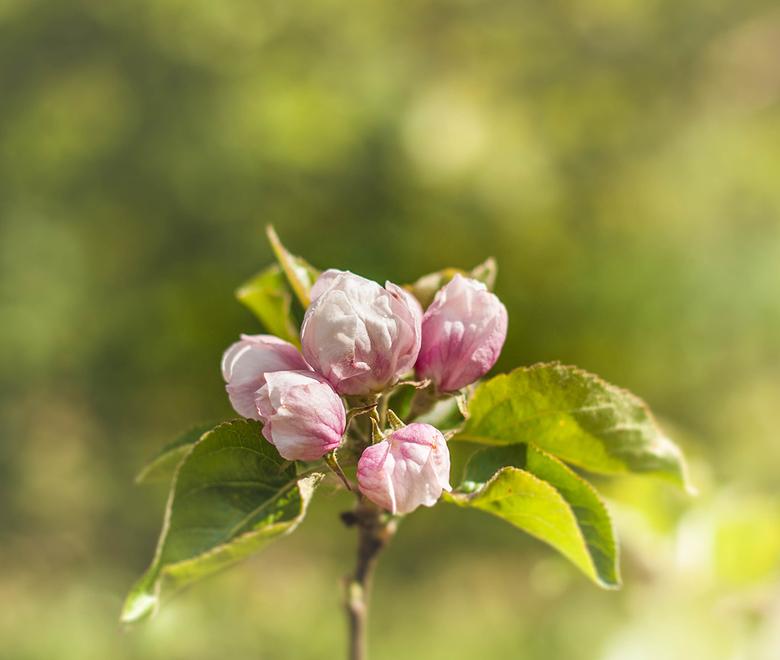 Blossom - Nog even genoten van de mooie bloesem in natuurtuin 't Loo in Bergeijk.
