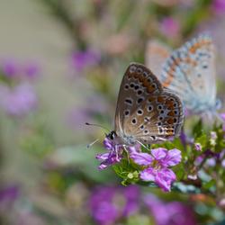 Vlinders(s)