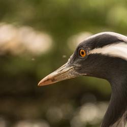 close up van een Kraanvogel.
