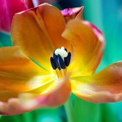 uitgebloeide tulp