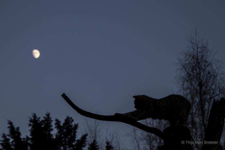wilde kat in het maanlicht - Deze wilde kat strekt zich lui uit na een dutje op de boomstam. <br /> <br /> De foto is net voor sluitingstijd van Bio