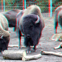 Bisons Blijdorp Zoo Rotterdam 3D