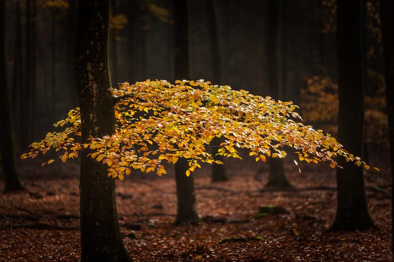 herfst  - een prachtige lage beukentak in herfstkleuren.