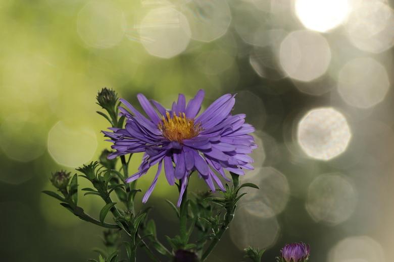Herfst Aster - bloem van de herfst <br /> Herfst Aster<br /> 21-9-2020