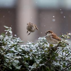 Vogels in Kopenhagen
