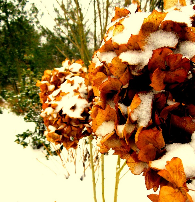 Koude hortensia - Hortensia in de Paleistuinen, winter 2013 - Den Haag