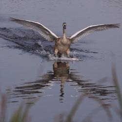 Jonge wilde zwaan landt recht voor me in de Vilt