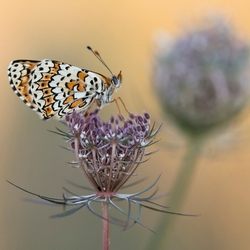 parelmoer vlinder