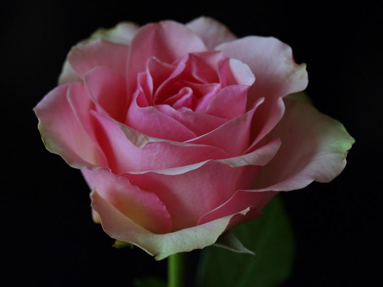 pr.2010 - pink ribbon bijdrage