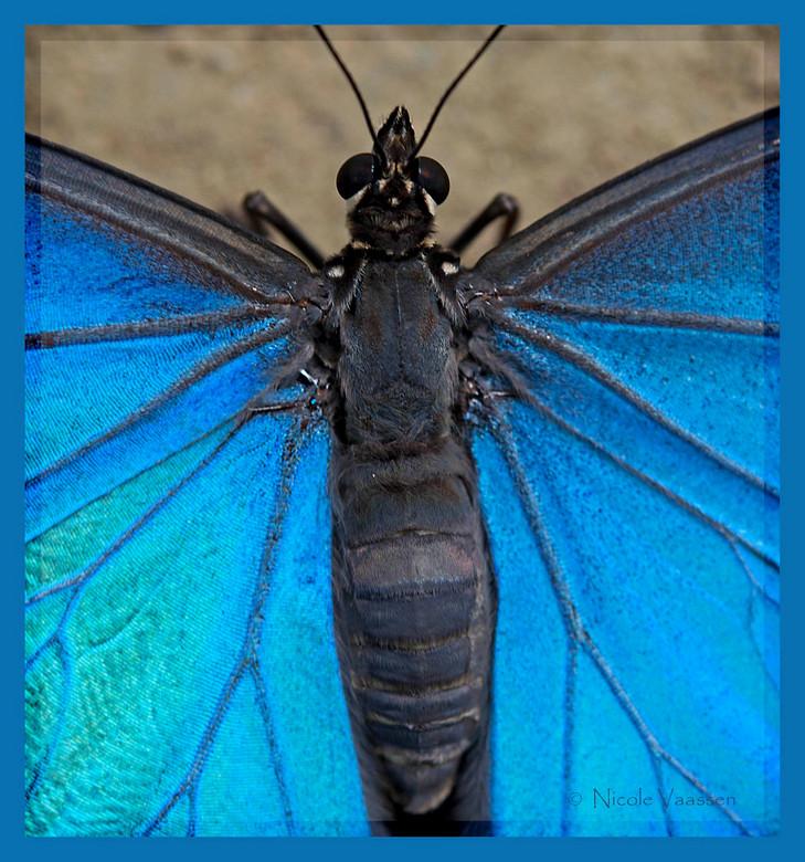 morpho peleides - Deze is ook gemaakt in het Schmetterlingen haus in Jonsdorf, Duitsland.