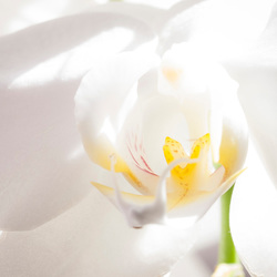 orchid dreams