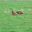 fazand hanen