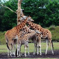 Kluwen van giraffen