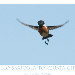 hello saxicola torquata girls
