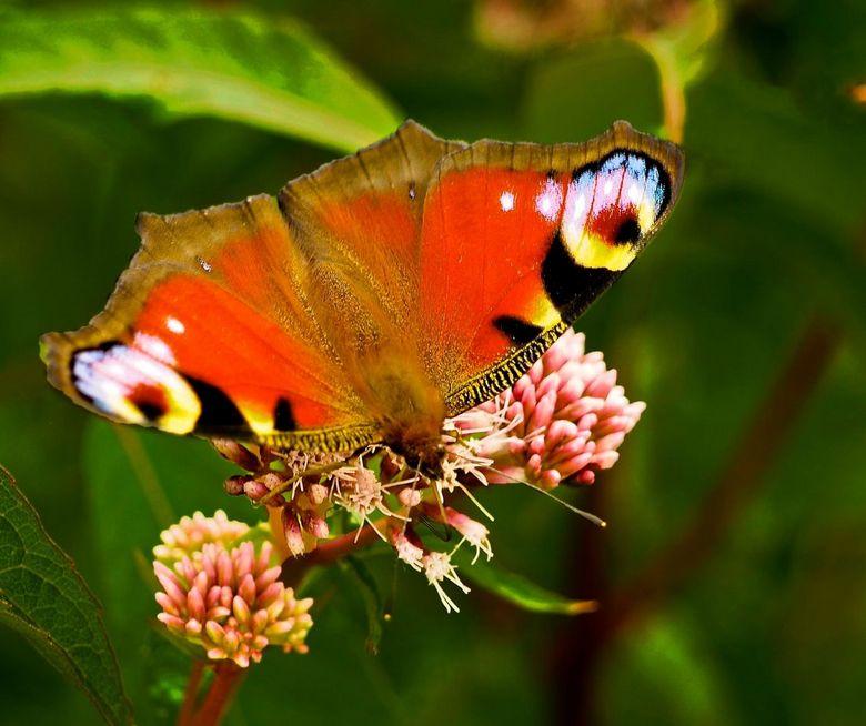 Peacock in 't groen. - Peacock in 't groen. Elke fotograaf valt wel voor een mooie vlinder, denk ik. Deze soort is natuurlijk vaker geplaatst en