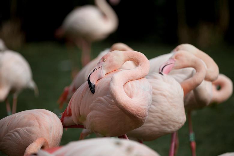 bunch of flamingo's - Persoonlijk vind ik de flamingo's in Blijdorp geen 'spannende' lokatie hebben, maar vond het wel heel mooi hoe ze