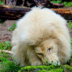 Witte leeuw.
