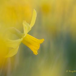 Yellow spring trumpet
