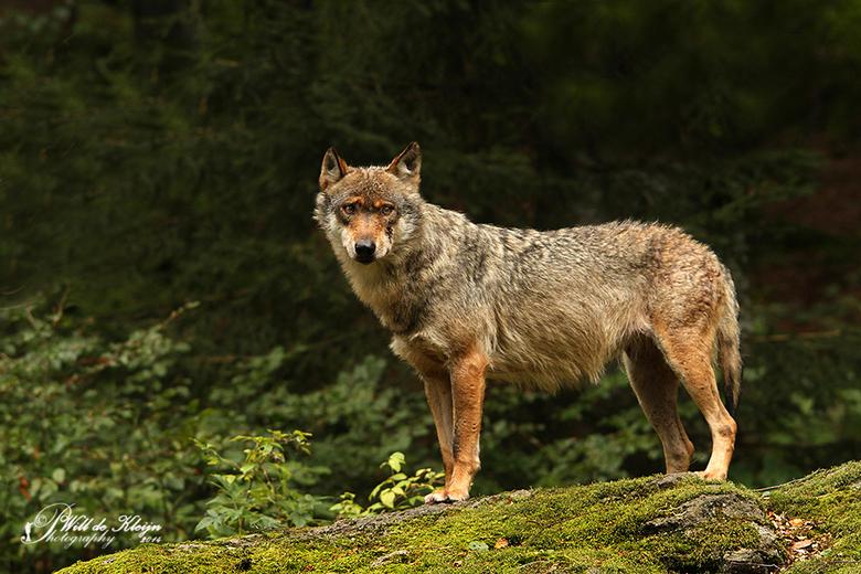 """Wolf (Beierse Woud) - <a href=""""http://www.willdekleijn.nl/"""">http://www.willdekleijn.nl/</a>"""