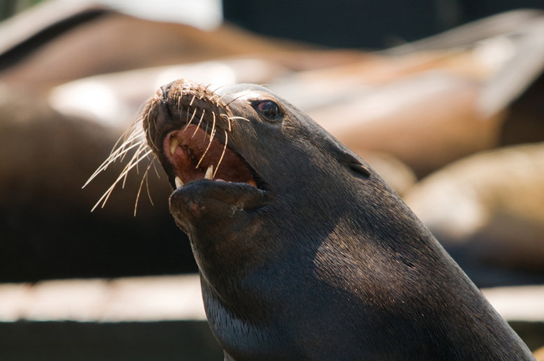 agressieve zeeleeuw - genomen in San Francisco (Fishermans Wharf, Pier 39) waar een enorm aantal Californische zeeleeuwen verblijft. <br /> De vorige