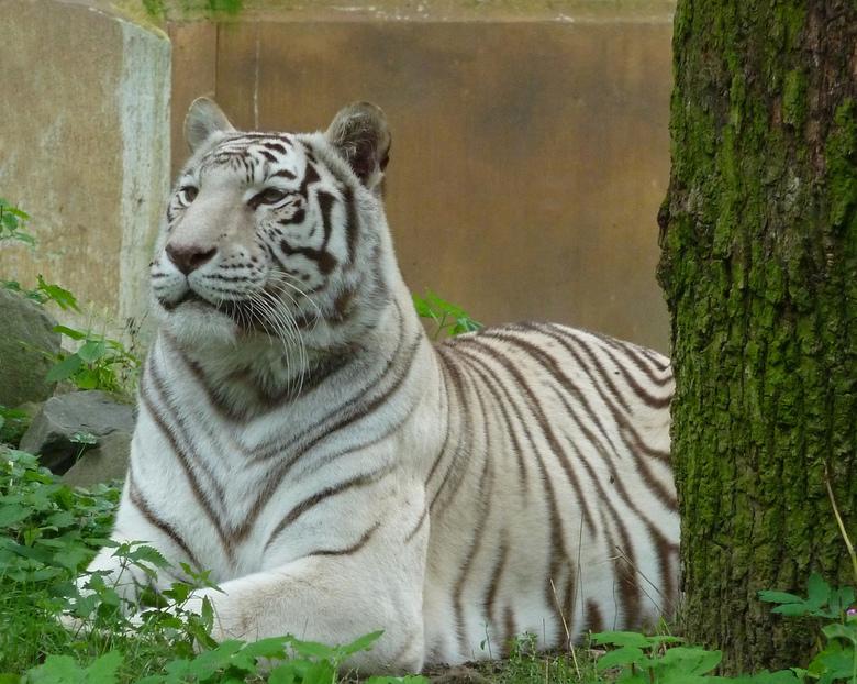 Witte tijger - De twee witte tijgers die sinds 19 december 2003 in dierenpark Ouwehand verbleven zijn overleden.<br /> <br /> Gandhi en vooral Mora