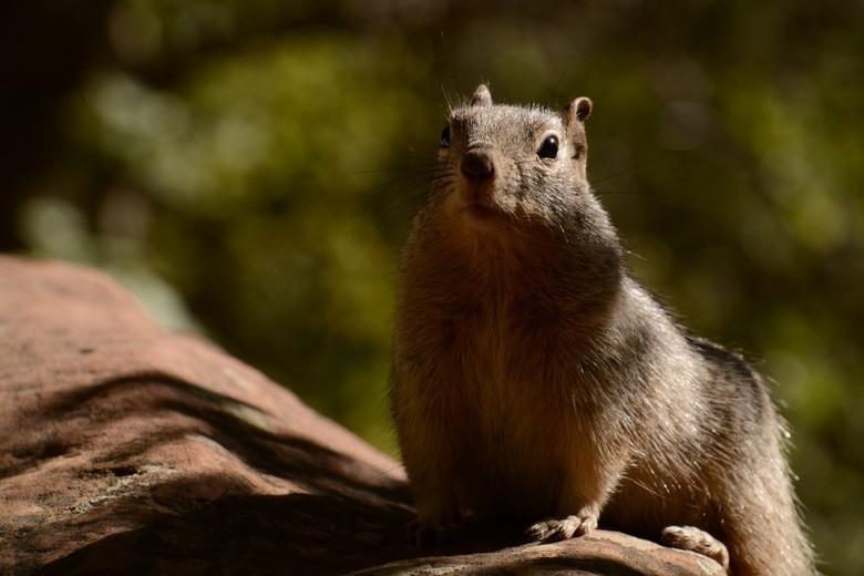 alert - Amerikaanse eekhoorn