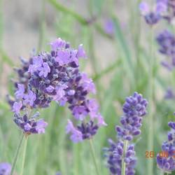 paarse bloemen.