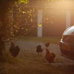 Goldenhour visiting the farm