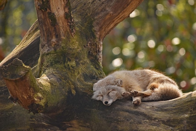 Pauze - In de loop van volgende week ga ik een zoompauze nemen, niet om te rusten zoals dit vosje maar om te sjouwen. Binnenkort wordt de vloerbedekki