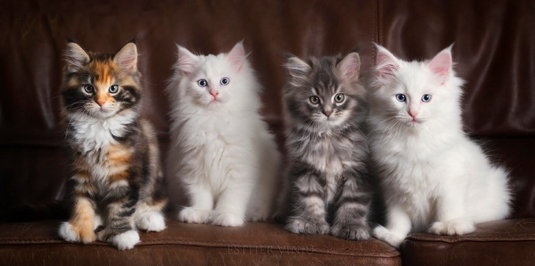 Groupselfie! - Polydactyl Maine Coon kittens<br />