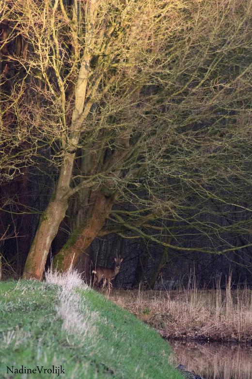 ohw deer - na een middag in de oostvaardersplassen hebben rondgezworven zonder een ree/hert te hebben gezien ben ik thuis er met de hond op uitgetrokk