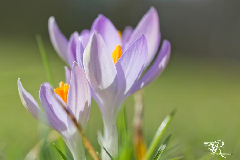 Krokusjes - De lente laat zich zien!