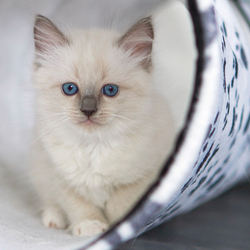 Ragdoll kitten Yumiko