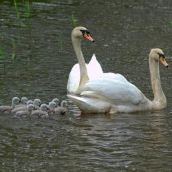 Zwanen gezin