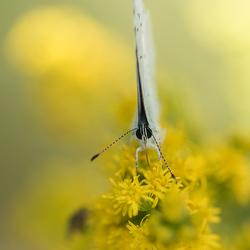 Mijn favoriete vlindertje is er weer ...