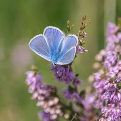 Blauwtje op Heide