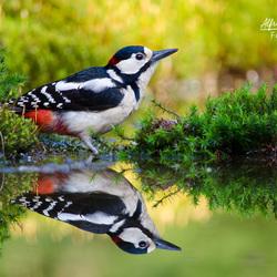 Spiegeltje spiegeltje aan de wand wie is de mooiste specht van het land..