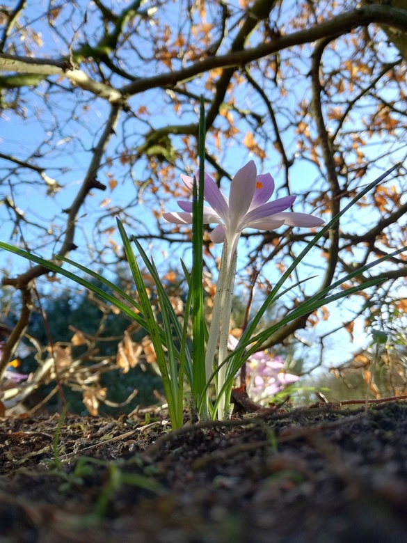 Kriebel, Kriebel.... lentegevoel - De tuin is alweer druk in ontwikkeling en de krokus is ieder jaar weer een mooie voorbode voor meer geur en kleur.