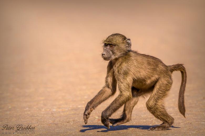 Namibische baviaanpuber - Deze baviaan (baboon) stak, tijdens een wandeling van ons, onverstoord over. Hij had zijn focus op een boom aan de andere ka