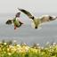 puffins tijdens broedtijd op de Farnes eilandenZoom