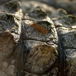 Alligatorhuid