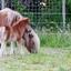 Shetland veulen met moeder
