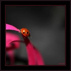 Ladybug on a Pink Ribbon