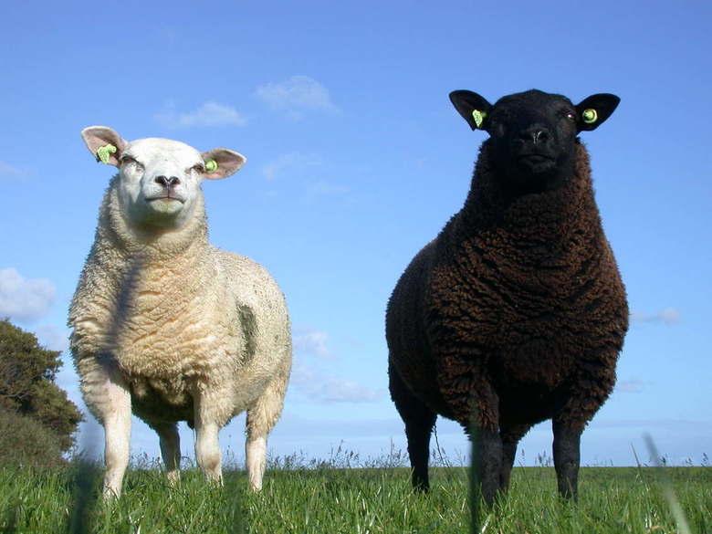 witte schapen zwarte schapen - Schaap op terschelling