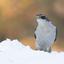 Havik in de sneeuw