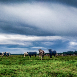 Koeien in de wei