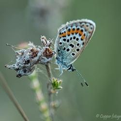Zoomdag Heino: Heideblauwtje op dopheide