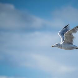 zeevogel