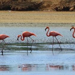Flamingo`s Bonaire