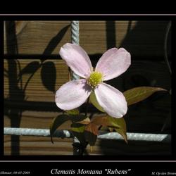 "Clematis Montana ""Rubens"" bosrank, roze"